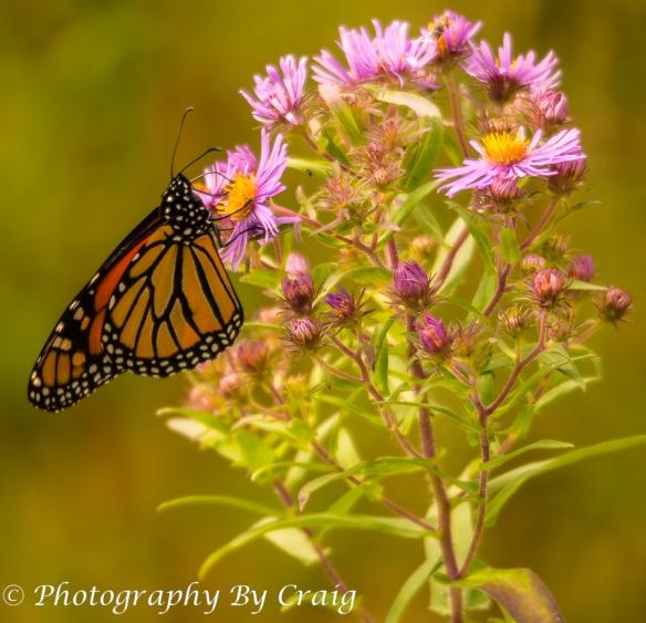MonarchButterfly_3777